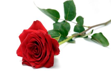 ILD rose with stem